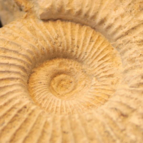 fossiel ammoniet ruw